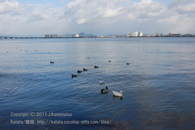 琵琶湖を泳ぐアヒル、合鴨、ユリカモメ