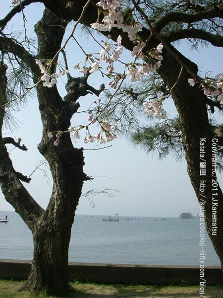 桜の花(琵琶湖の見える公園にて)1