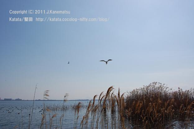 春の琵琶湖。ユリカモメ、飛ぶ