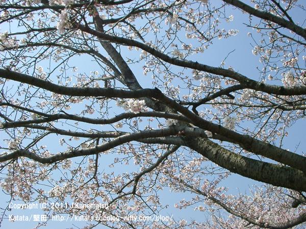 見上げれば、満開の桜の花