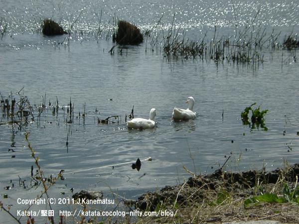 春の日に、おとせの浜を泳ぐアヒル