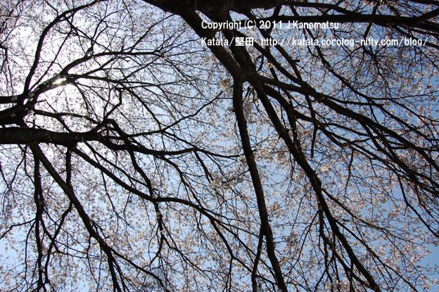 中村八幡宮の桜3