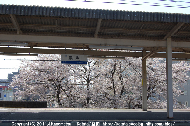 堅田駅の桜(駅ホームから)
