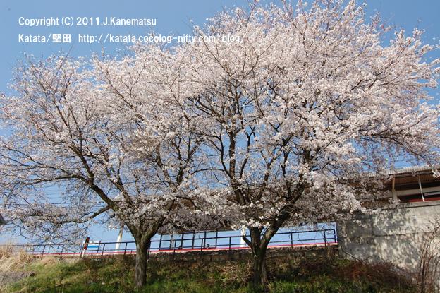 堅田駅の桜(駅ロータリーから)