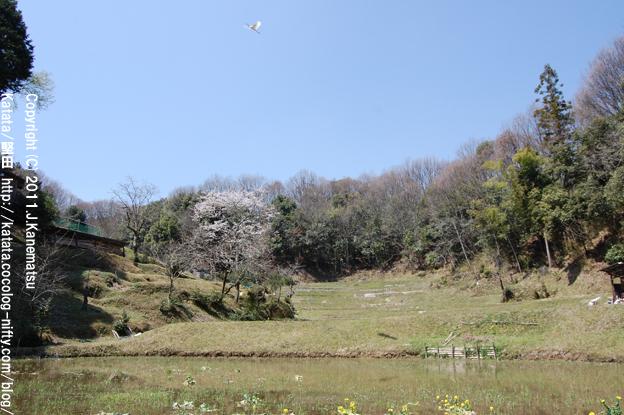春の棚田、空を飛ぶ白い鳥(サギ)