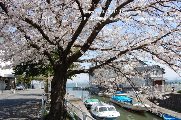 琵琶湖の畔、堅田港の桜