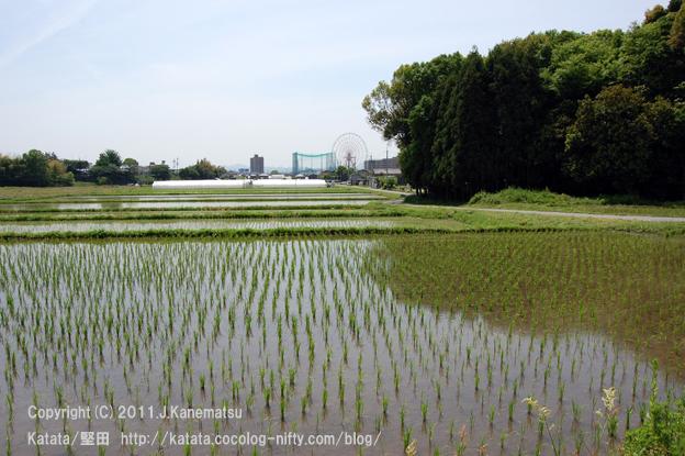 神田神社の社寺林と田んぼ、遠くに観覧車が見えて