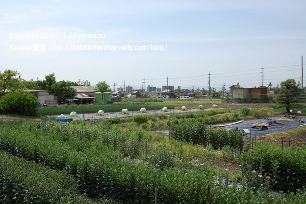 菊畑の向こうに、国道477号線