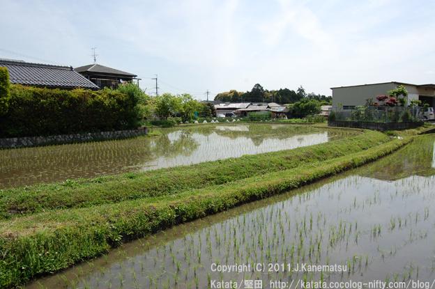 真野普門1丁目にて、水田の小さな稲が伸びていく頃