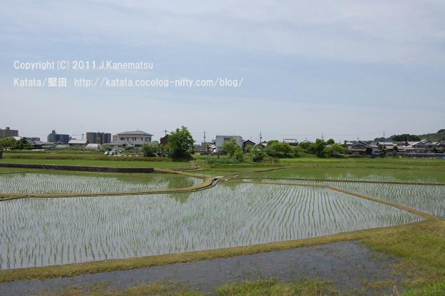 真野川のほとりにて、水田の小さな稲が伸びていく頃1