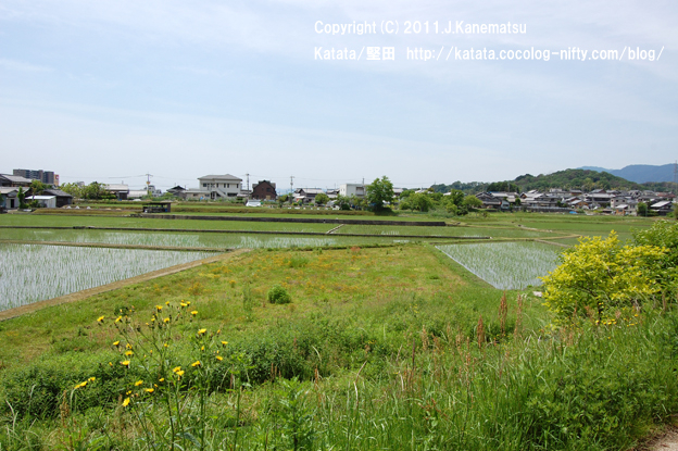 真野川のほとりにて、水田の小さな稲が伸びていく頃2