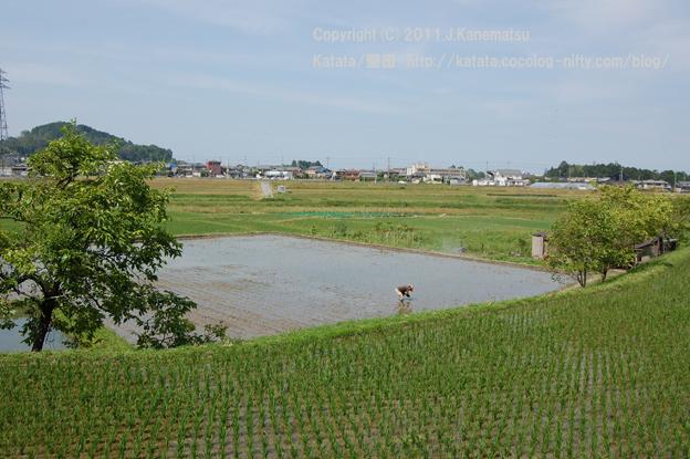 もち米を手植えしています