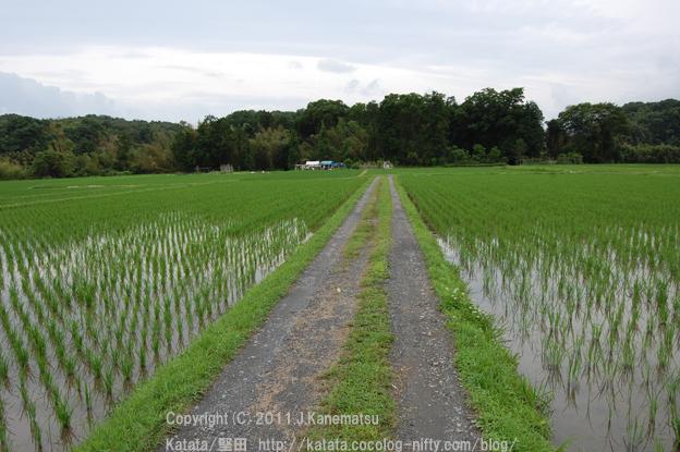田んぼの畦道を、真野川へ向かって歩いています(真野大野にて)