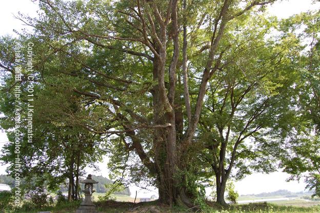 トトロが出てきそうな風景(クスノキとモミジの大木)