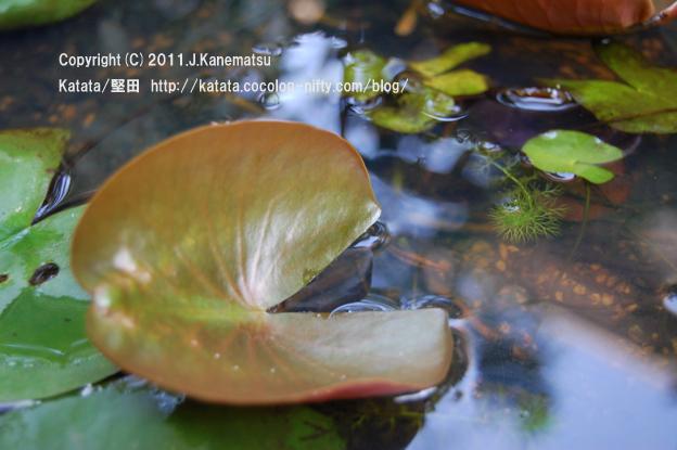 涼しげな水辺の風景、スイレンの葉