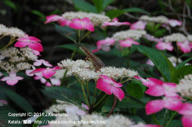 カナヘビとアジサイの花