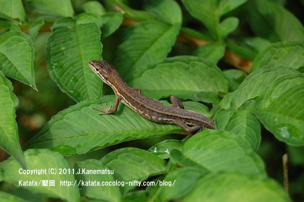 コンニャク畑にて、葉の上で休憩していたカナヘビ