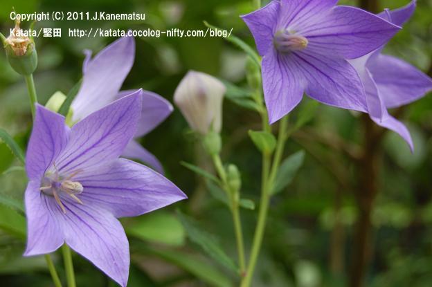 青紫色の妖精、キキョウの花