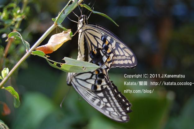 滋賀の里山から (14-1) アゲハチョウのメスが、今、生まれました。