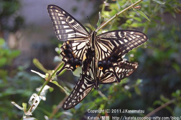 滋賀の里山から (14-2) アゲハチョウのメスが、今、生まれました。
