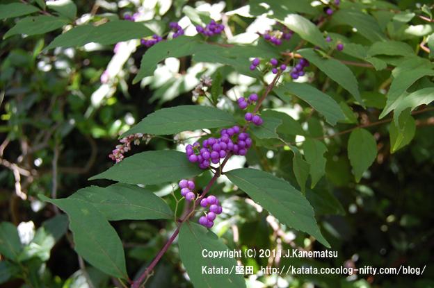紫色の果実が美しい、コムラサキ(コシキブ)