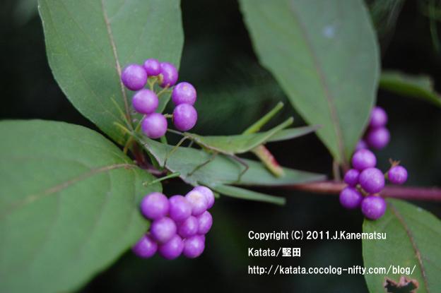 滋賀の里山から (16) オンブバッタと、紫色の実~コムラサキの枝の上で