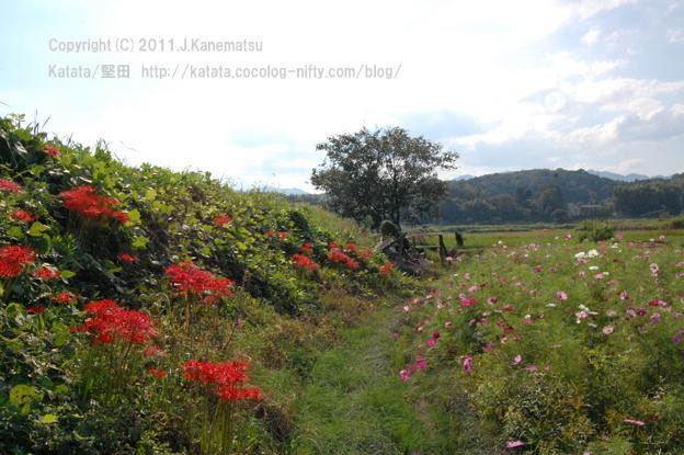 柿の木とヒガンバナ、コスモス畑