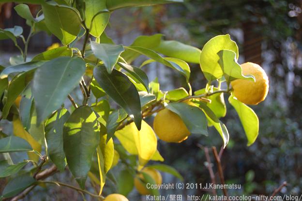 冬の穏やかな黄色、ユズの実