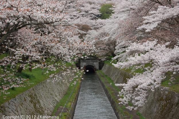 琵琶湖疏水 鹿関橋の桜