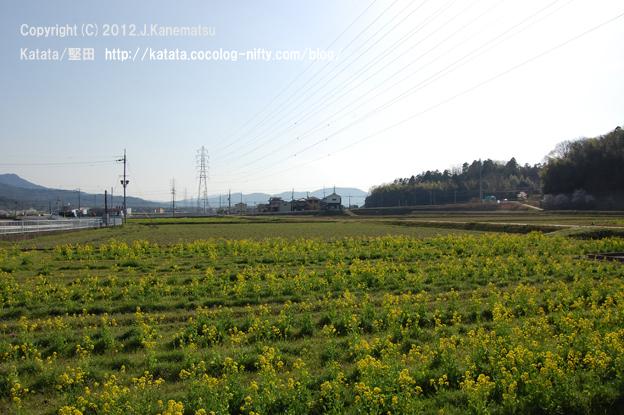 滋賀の里山から (21-2) 菜の花の畑2