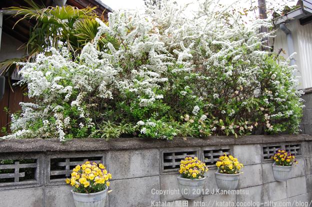 満開のユキヤナギと黄色いビオラの花