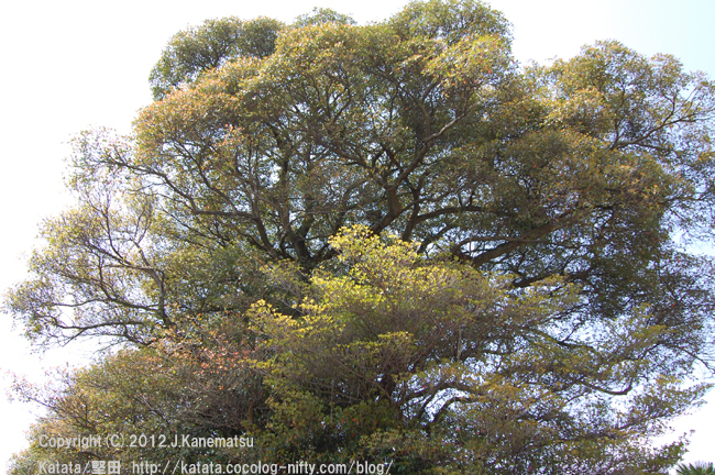 クスノキの大木