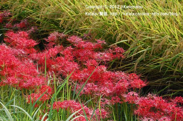 田んぼの畦道に一面に咲いていた彼岸花