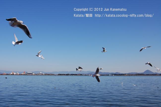 ゆりかもめ、飛ぶ(琵琶湖と三上山を背景に)