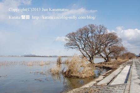 琵琶湖岸のヨシとヤナギ