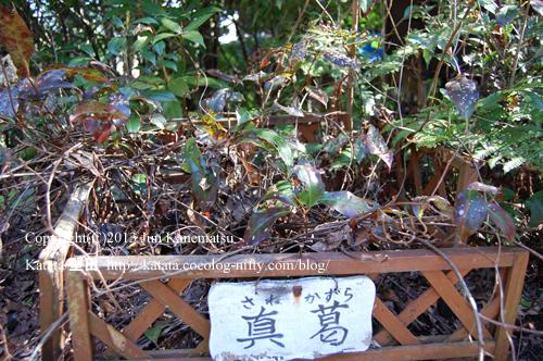 逢坂山ふもとの神社のサネカズラ