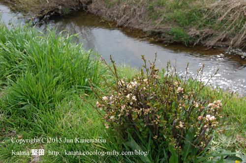 天神川とボケの花