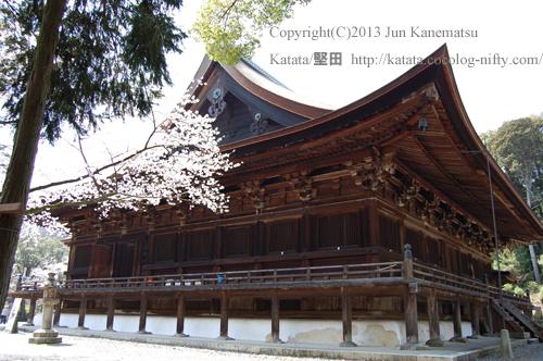 三井寺金堂と桜