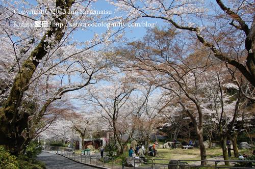 桜の名所、長等公園