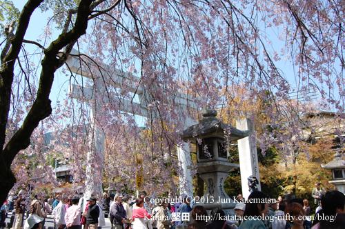 日吉大社参道の鳥居と常夜灯、満開の枝垂桜