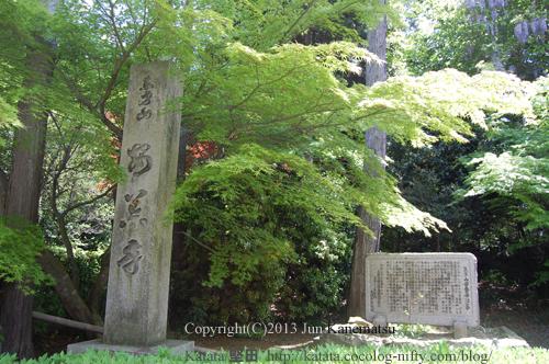 安養寺参道の新緑(モミジ)