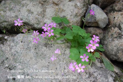 穴太積の石垣に咲いていたムラサキカタバミ/Oxalis corymbosa DC./Violet wood-sorrel