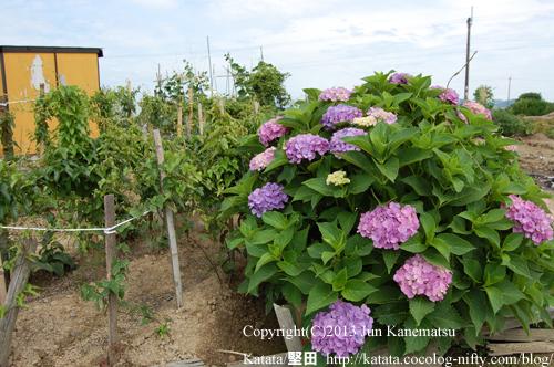 黄色い物置小屋と赤紫色のアジサイ