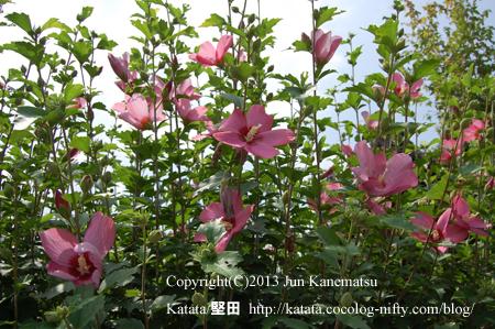 米原市清滝で咲いていた夏の花(ムクゲ)