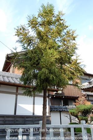 笠山神社の二代目笠杉(甲賀市水口町高山)