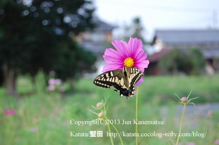 瀬古薬師堂のそばで咲いていたコスモスと、アゲハチョウ(甲賀市甲南町竜法師)