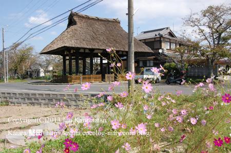 新宮神社表門とコスモスの花