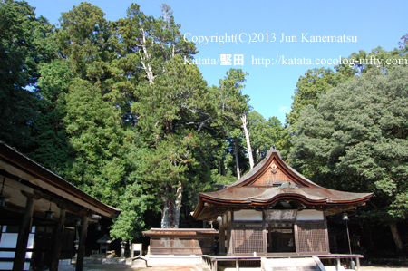 油日神社拝殿とコウヤマキ