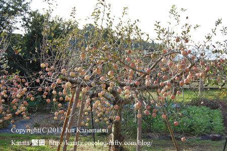 りんご園のりんご