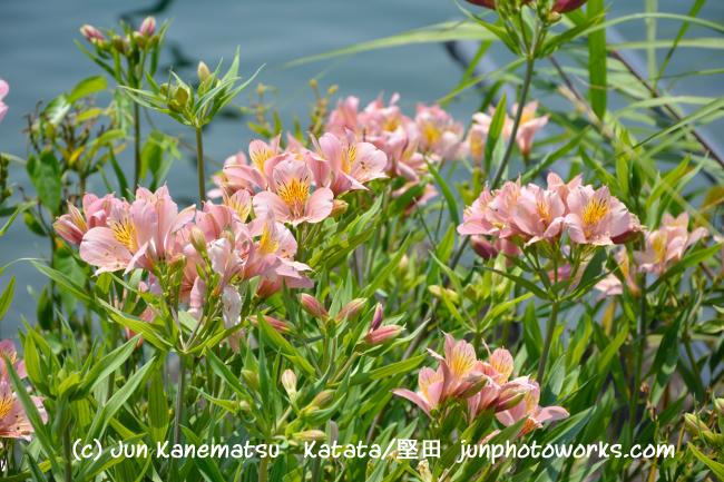 沖島で撮影した夏の花